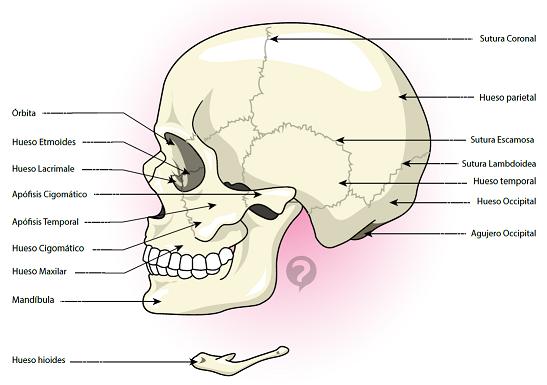 Algunas partes del cráneo humano