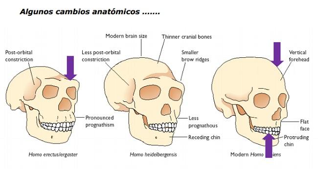 Algunos cambios anatómicos del Homo Heidelbergensis